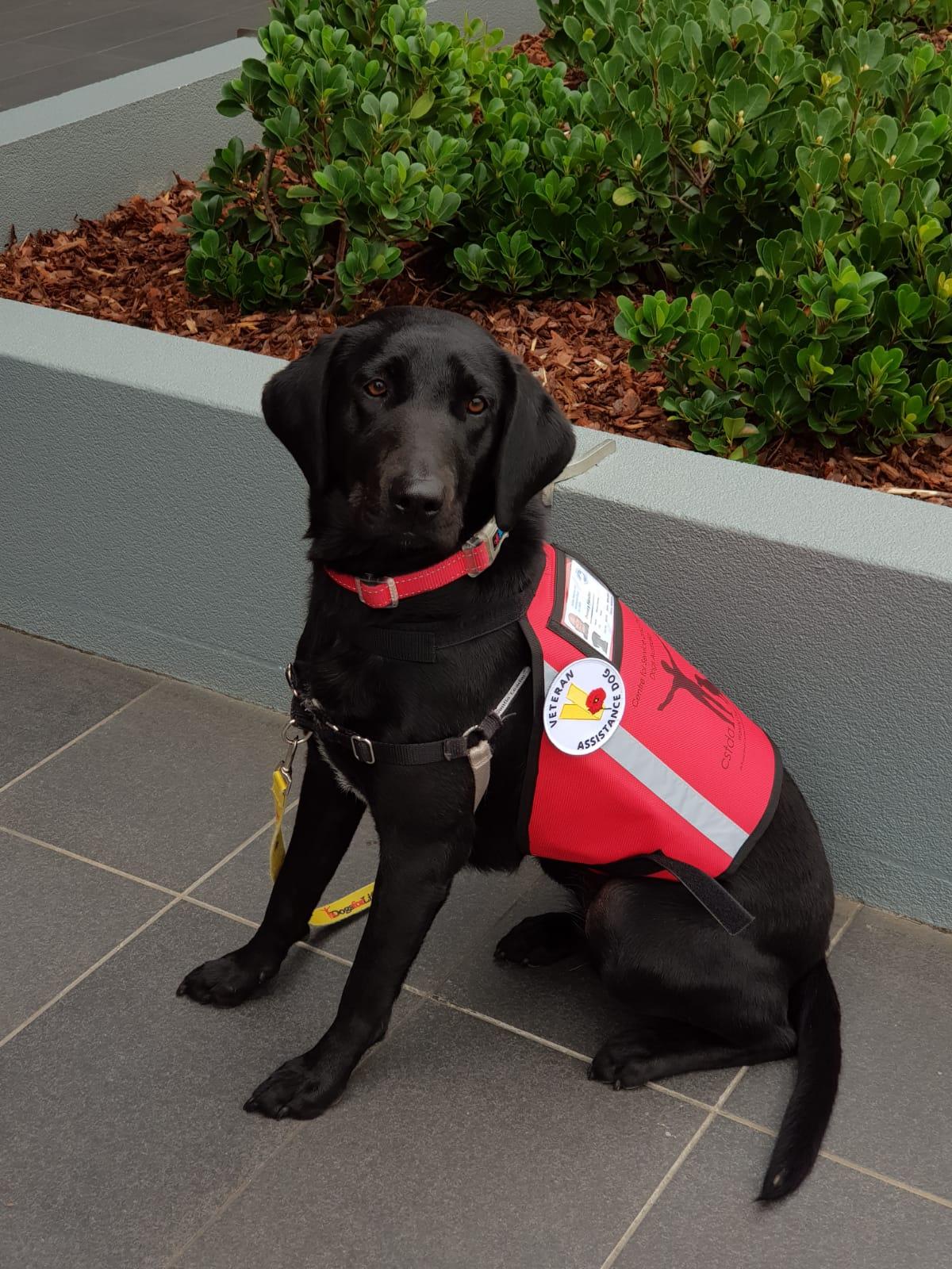 Dogs for Life trained DVA Psychiatric Assistance Dog, Koda